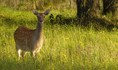 Picture of Sika Deer