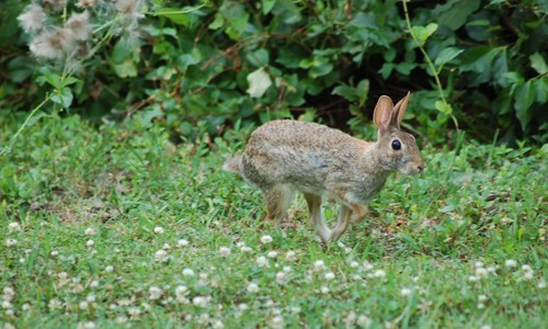Eastern cottontails escape from predators by quickly hopping away in a zig-zag pattern. (Carly & Art/ Flickr)
