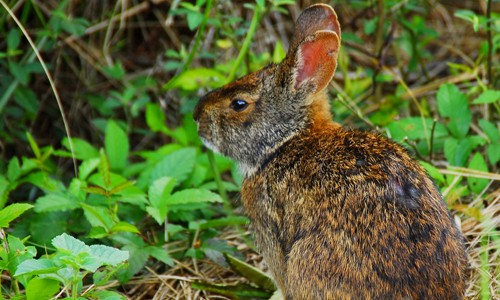 The marsh rabbit has reddish or dark brown fur. (Andrea Westmoreland/Flickr)