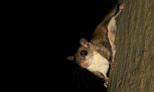 Southern flying squirrels have large eyes that allow the squirrels to see at night, when they are active. (laszlo-photo/Flickr)