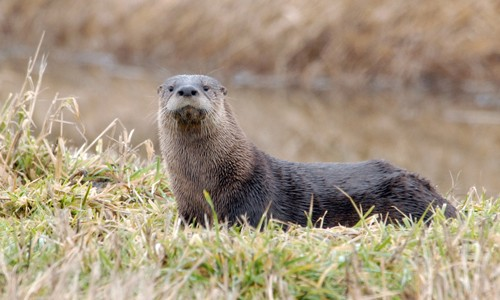 River otters have a long, streamlined body covered in dense brown fur. (Dan Dzurisin/ Flickr)