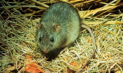 Marsh rice rats have a scaly tail that is usually longer than their head and body. (Roger Barbour)