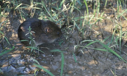 Picture of Meadow Vole