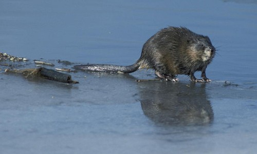 Muskrats have thick, glossy fur that varies in color from blackish to silvery-brown. (U.S. Fish & Wildlife Service)