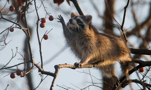 Raccoons are excellent climbers that will eat nearly any food available to them. (Kelly Colgan Azar/Flickr)