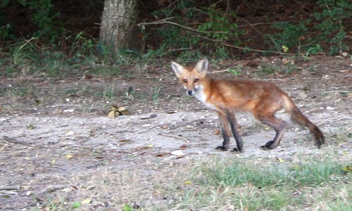 Red foxes look like small dogs with a mostly reddish body, black legs and white underparts. (Jane Hawkey/IAN Image Library)