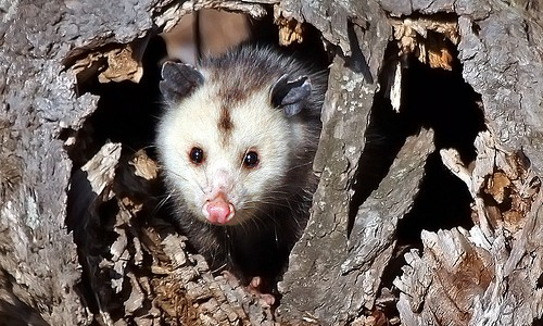 Opossums den in hollow logs, tree cavities, rock piles, old nests and burrows, and under decks and buildings. (stevehdc, Flickr)