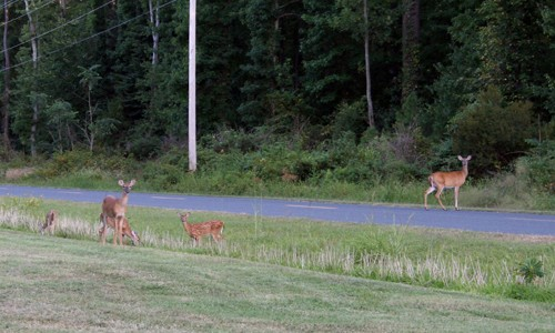 White-tailed deer are often seen along the edges of forests and farms. (Jane Hawkey/IAN Image Library)