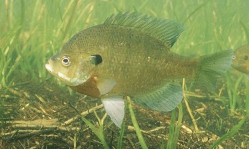 The bluegill is a colorful sunfish with an olive green, saucer-shaped body. (U.S. Fish and Wildlife Service)