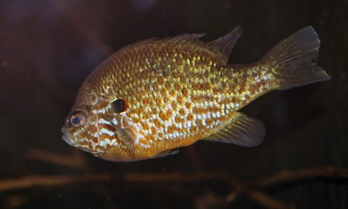 The pumpkinseed is a bright, beautiful sunfish with a saucer-shaped body that is mottled orange, blue and green. (cliff1066/Flickr)