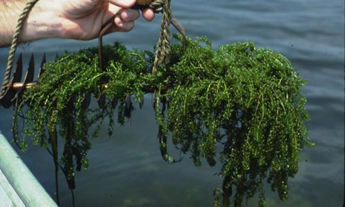 Common waterweed has tiny, narrow leaves along slender, branching stems. (Maryland Department of Natural Resources)