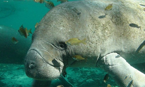 Manatees are large, gray aquatic mammals that sometimes visit the Chesapeake Bay's shallow waters. (Tracy Colson/U.S. Fish and Wildlife Service)
