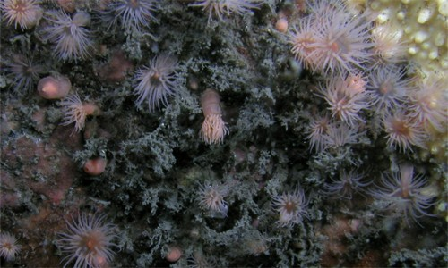 Ghost anemones have transparent, jelly-like bodies with a whitish or pinkish tint. A circle of 40-60 petal-like tentacles grows from the top of an elongated stalk. (Smithsonian Environmental Research Center)
