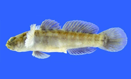 Naked gobies are dark greenish-brown with 8-10 light bars running along the sides. They are the most abundant goby species in the Chesapeake Bay. (Chad Thomas/Texas State University)