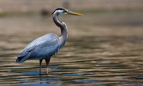 Great blue herons are often seen wading silently in shallow water. (Mike Baird/Flickr)