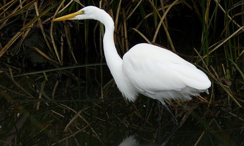 Great egrets visit the Chesapeake Bay region's marshes and wetlands from spring through autumn. (docentjoyce/Flickr)
