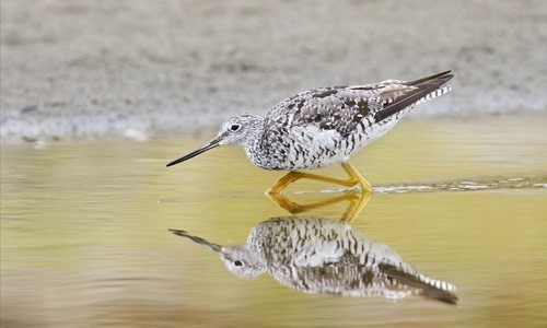 The greater yellowlegs can be found in Chesapeake Bay marshes and mudflats in the spring and fall. (Bill Bouton/Flickr)