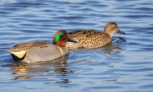 Green-winged teals vary in appearance depending on sex. Males have a chestnut head with a green, crescent-shaped patch running through the eye to the back of the head. Females are mottled brown all over. (opusbloo/Flickr)