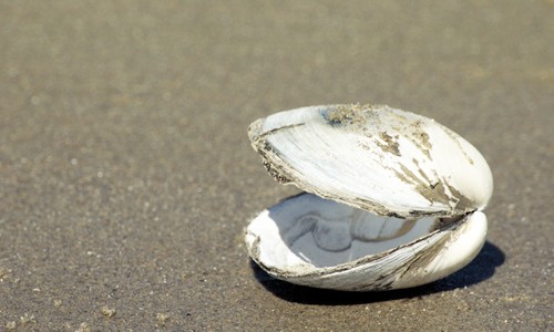 Picture of Hard Clam