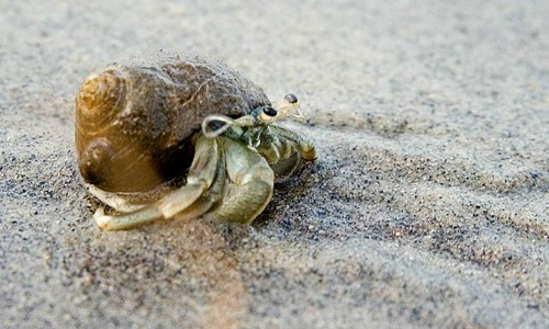 Hermit crabs live on beaches, mud flats and shallow waters throughout the lower Chesapeake Bay. (Eric Heupel/Flickr)