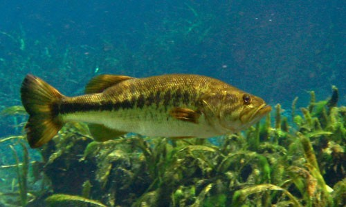 Largemouth bass are yellowish green and can grow up to 30 inches long. (Bemep/Flickr)