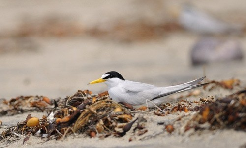 Weighing approximately one ounce and measuring just nine inches in length, the least tern is the smallest of the North American terns. (vijay_SRV/Flickr)