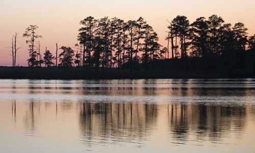 Picture of Loblolly Pine