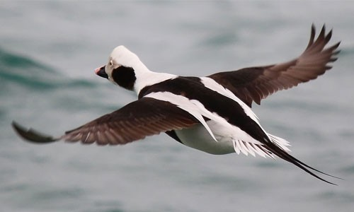 The long-tailed duck favors open water and can be found in winter throughout the Chesapeake Bay. (Gary Yankech/Flickr)