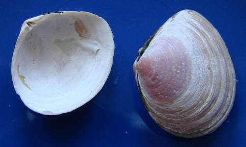 The Baltic macoma clam has broad, oval-shaped shells, sometimes with a pinkish tint. (Aung/Wikimedia Commons)