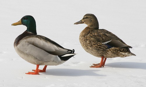 The mallard, found throughout the Chesapeake Bay region, is one of the most abundant waterfowl in the world.