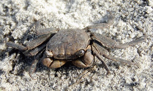 The marsh crab has a small, square carapace (shell) that varies in color from warm brown to dark olive. (North Carolina State Parks Natural Resources Inventory Database)