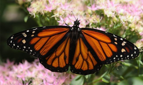 The monarch butterfly can be found in fields and meadows where milkweed is common throughout the Chesapeake Bay watershed. (Thomas Bresson/Flickr)