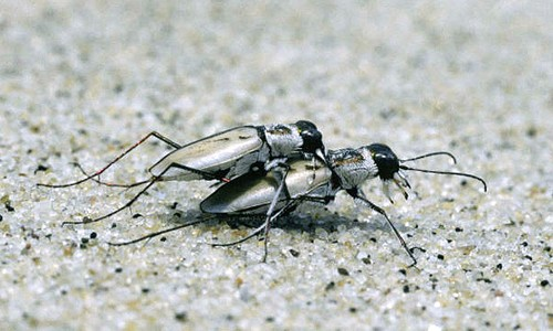 Picture of Northeastern Beach Tiger Beetle