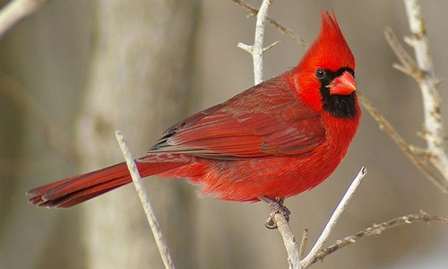 Male cardinals are very distinctive, with a brilliant red body and a black face. (Runner Jenny/Flickr)