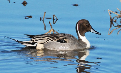 Named for its long, pin-like tail, the pintail duck has the largest breeding range of any duck in North America.