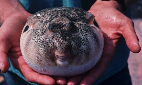 The northern puffer puffs up into a ball in self-defense. (Virginia Institute of Marine Science)