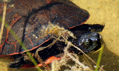 Red-bellied cooters live in large ponds, streams, rivers and adjacent marshes, usually in areas with lots of aquatic vegetation. (James Harding/Michigan State University)