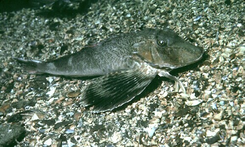 The northern searobin uses its finger-like pelvic fins to feel for and uncover its prey. (U.S. Geological Survey)