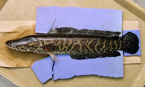 The northern snakehead is a large fish that has a long body with a mottled, snake-like pattern. (U.S. Geological Survey Archive/Bugwood.org)