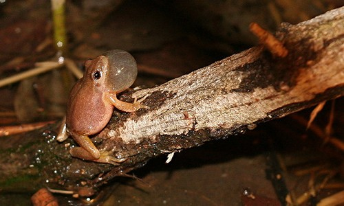 The northern spring peeper's vocal sac is almost the same size as its entire body. (Douglas Mills/Flickr)