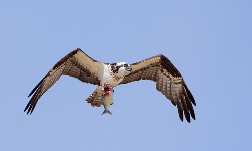 When it catches a fish, an osprey will rearrange it in its talons so the fish is facing forward. This reduces drag, making it easier for the osprey to fly. (Alan Vernon/Flickr)