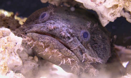 Oyster toadfish have big, bulging eyes on top of a large, flat head and fleshy