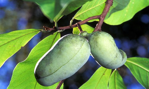 Paw paws have distinctive yellowish-green, mango-like fruits that grow in September through October. (U.S. Department of Agriculture)
