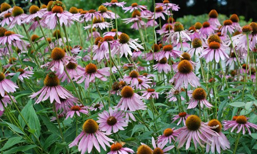 Purple coneflower has large, lavender flowers with a spiny, dome-shaped, orange or brown center. (Jordan Meeter/Flickr)