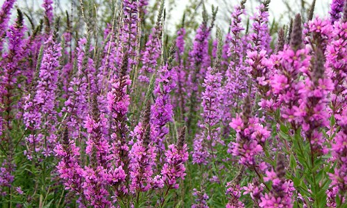 Purple loosestrife has spikes of bright purple or magenta flowers that bloom in mid- to late summer. (Jenn Forman Orth/Flickr)