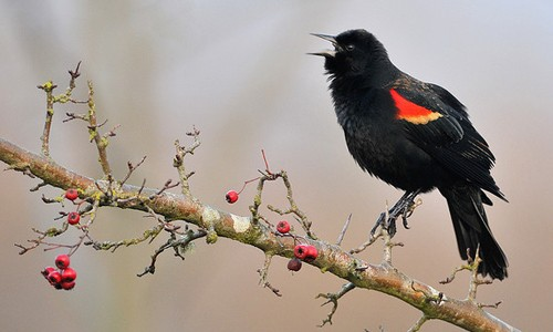Male red-winged blackbirds are glossy black with red shoulder patches bordered in yellow. (Minette Layne/Flickr)