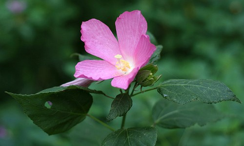 Rose mallow flowers have five petals and may be white or pink. (dogtooth77/Flickr)