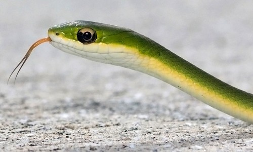 The rough green snake has a long, slender, bright green body and a white, cream or yellow belly. (Richard Crook/Flickr)