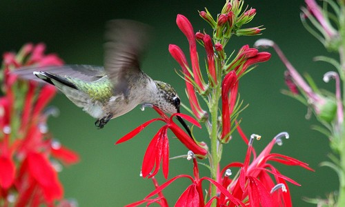 Hummingbirds hover in the air while they sip nectar from red, tubular flowers such as cardinal flower. (Jason Means/Flickr)