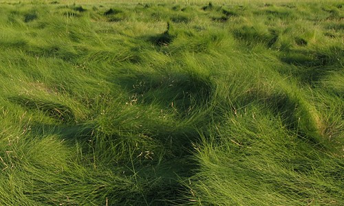 Saltmeadow cordgrass stems are easily bent and blown over by the wind, giving the grass its distinctive whorled,